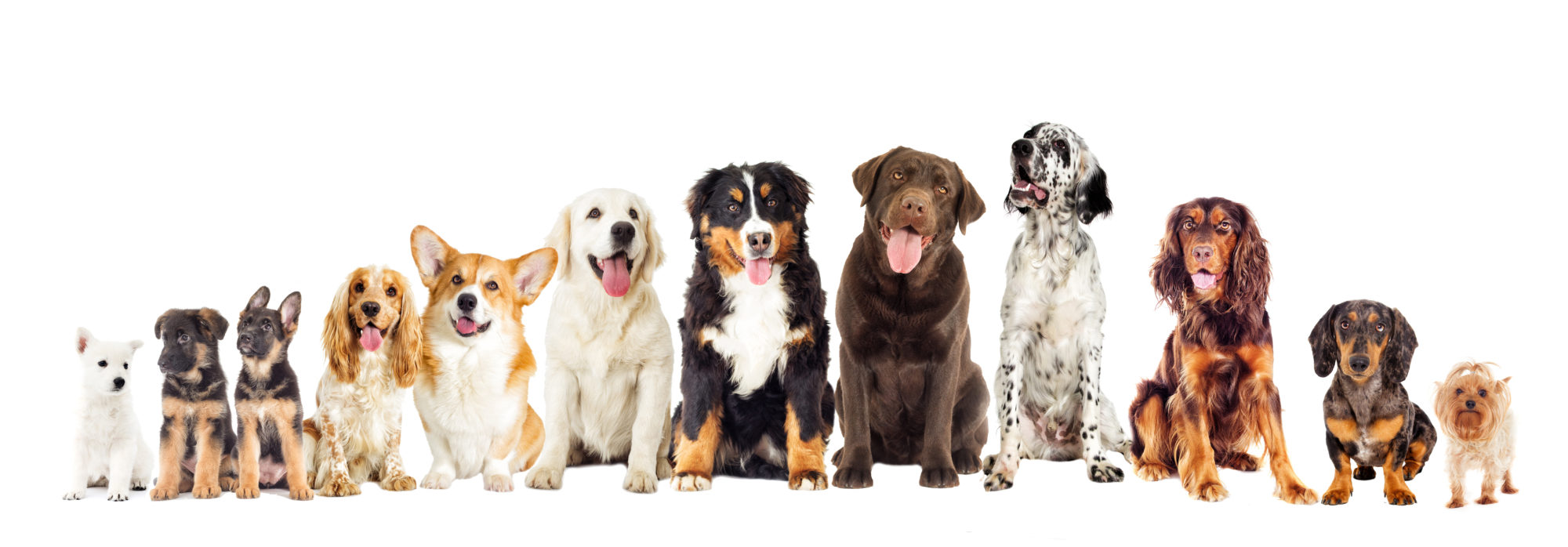 Set of dogs on white background looking